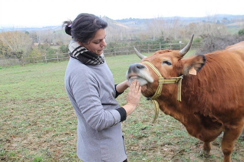 Агроферма Podere Capannacce корова